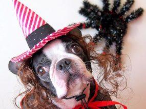 ハロウィンで仮装する犬